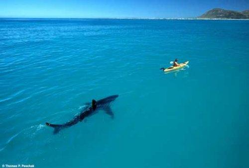 Акула, преследующая байдарку