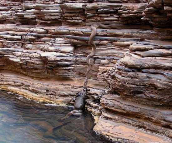 Питон, вытягивающий из воды кенгуру