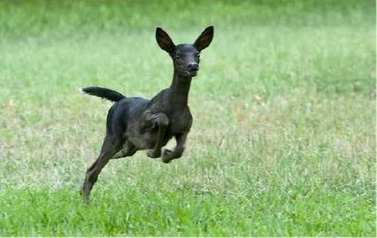 Черный олененок