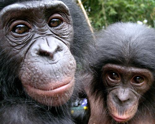 обезьяны бонобо (близкий родственник шимпанзе)