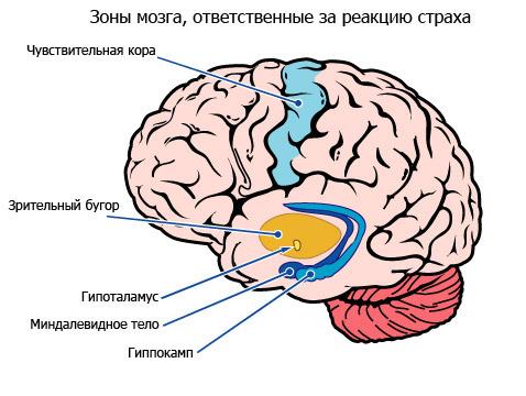gippokamp v mozge