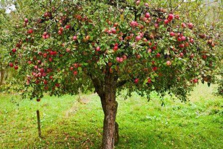 jablonia