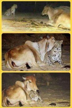 leopardkorova mama
