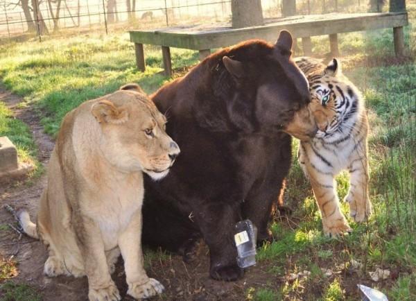 Медведь, тигр и лев – трогательный пример дружбы между животными из приюта «Ноев ковчег»