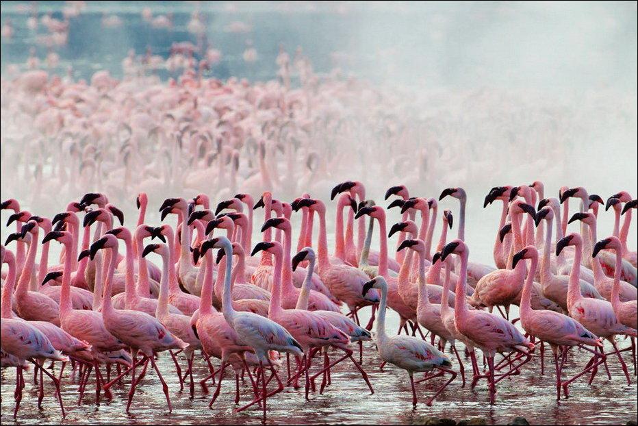 """Озеро розовых фламинго"" - озеро Накуру в Кении (15 фото)"