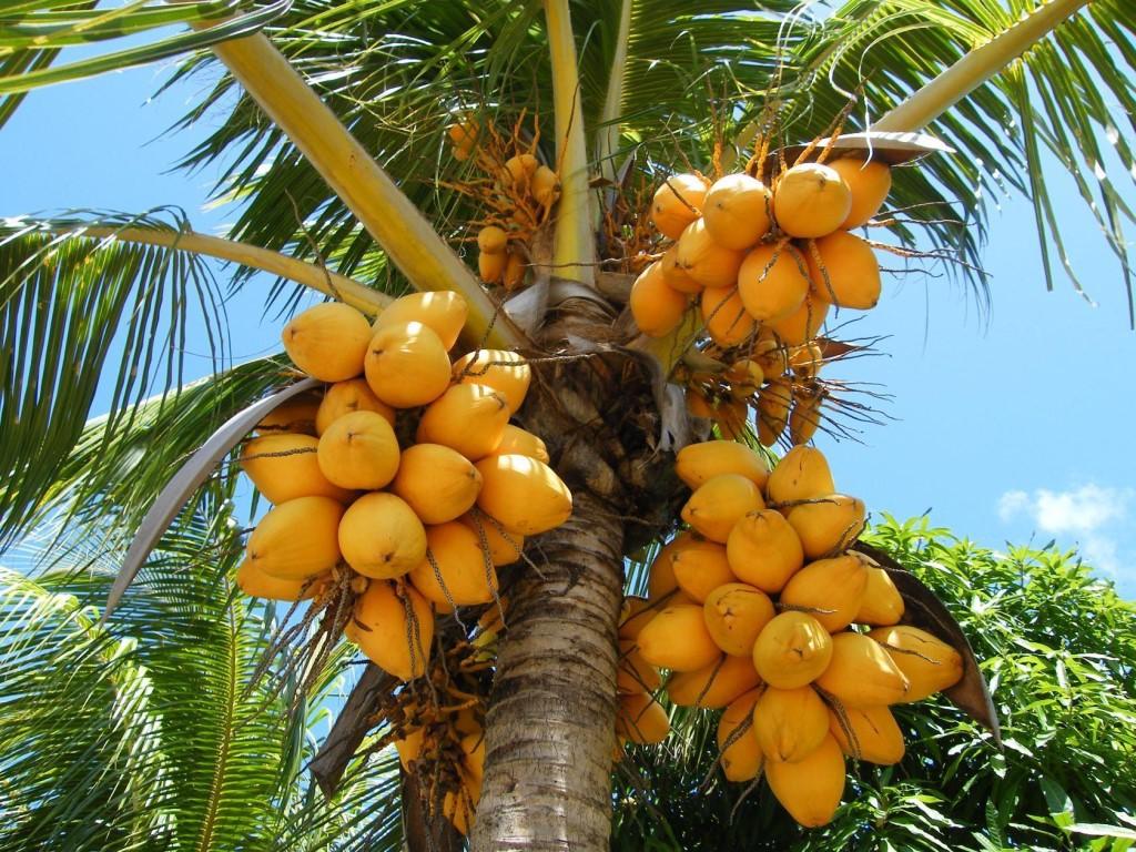 картинки с тропическими плодами своим размерам силе