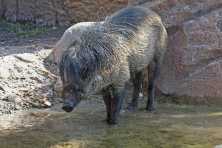 svinija iz parizhskogo zooparka