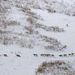 Волчья стая (фото + статья)